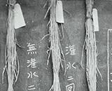 当時の稲作試験・横沢村国見