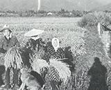 太田町刈り取り(太田)