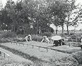 入植開拓の歴史 第一暁開拓 三早栽培始まる 昭和30年